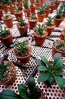 Plant research. Plants growing in pots in a climate_controlled laboratory. This is research into the optimum growing conditions for plants. Photograph...