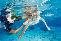Turtle healthcare. Green turtle Chelonia mydas being released in shallow water. The green turtle is found in tropical waters all over the world. This ...