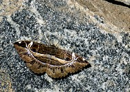 Owlet moth Erebus crepuscularis on a rock. Photographed in India.