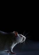 Laboratory rat.