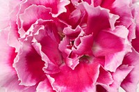 Carnation, close_up