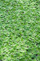 Water Lettuce