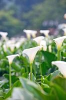 Calla Lily, Mt.Yang_ming, Yang_ming Mountain, Yangmingshan, Taipei, Taiwan, Asia