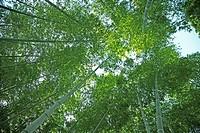 Bamboo, Japan, Fukushima Prefecture, Fukushima