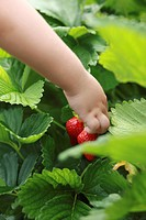 Little girl picking strawberries in a strawberry field