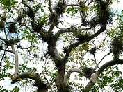 Cuba, tree, branches, Epiphyten, from below,