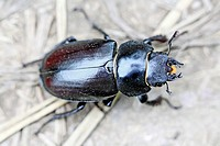 Pentodon bidens, a rhinoceris beetle  Large beetle that can be mistaken for geotrupes, dung beetle, but distinct gold band about neck and waist  Orang...