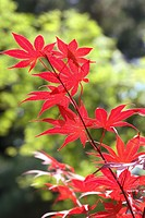 branch with red leaves with many long and slender lobes, backlit, sunlit greenery soft-focus behind
