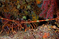 Spiny Lobster (Panulirus elephas) searching for food at night on ocean floor.