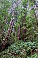 Vegetation and Coastal Redwoods, Sequoia sempervirens, Muir Woods National Park, California, USA