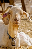 Close up of goat with bell