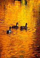 Ducks on a pond with golden reflections of autumn