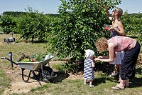 PICKING CHERRIES, THE GARDENS OF IMBERMAIS, EURE_ET_LOIR 28, FRANCE
