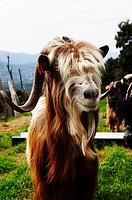 Goat, goat breeders Raphael Vesperini and Charlotte Lugrezi, Sarrola-Carcopino, South Corsica, Corsica, France