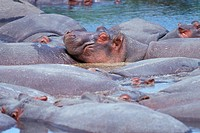 Africa, Tanzania, Serenti national Park, Group of hippos                                                                                              ...
