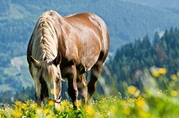 Horse eats from alpine meadow