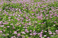 Chinese Milk Vetch Astragalus sinicus flowers, Hyogo Prefecture, Honshu, Japan