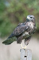 Common buzzard found throughout Europe and Asia to Japan  This bird of prey has a wingspan of up to 1 5 metres and mates for life  Usual prey is mice,...