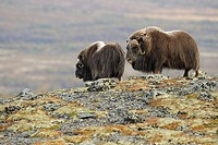 Muskoxen (Ovibos moschatus), Bull and Cow, Autumn, Fall, Dovrefjell National Park, Norway, Europe