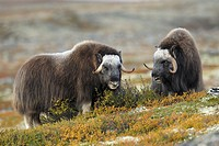 Muskoxen (Ovibos moschatus), Bull, Autumn, Fall, Dovrefjell National Park, Norway, Europe