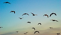 Seagulls in flight                                                                                                                                    ...