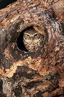 Little owl Athene noctua in hole in hollow tree The little owl is a diminutive species, which possesses a plump, round body, bright yellow eyes and sp...