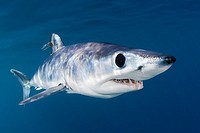 shortfin mako shark, Isurus oxyrinchus, with parasitic copepods, very aggressive and the fastest swimmer of all shark species, off San Diego, Californ...