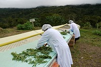 BOLIVIA Plant for processing medicinal and aromatic herbs, Chizchipani, Caranavi  The project of FUNDAWI  Cleaning and drying Salvia, a medicinal plan...