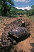 GIANT TORTOISE ´highway´ leads them from the sea to freshwater and food in higher ground _ GALAPAGOS ISLANDS, ECUADOR