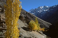 AUTUMN COLORS, the fall foliage is offset by the barren hills and snowy peaks of the HIMALAYAS _ LADAKH, INDIA