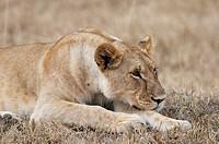 Lion Panthera leo, Masai Mara, Kenya
