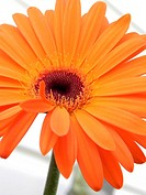 Gerbera daisy, Gerbera jamesonii