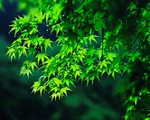 Close up of green leaves on a tree