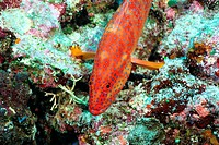 High angle view of a coral hind, Okinawa, Japan