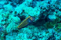 Side view of a white spotted boxfish, Okinawa, Japan