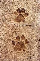 Tiger´s pug mark at Bandipur Wild Life Sanctuary, Karnataka, India.