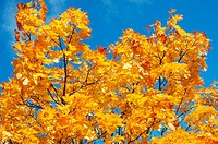 Golden yellow color of autumn leaves of Maple tree in Gothenburg, Sweden
