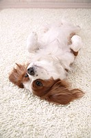 Cavalier showing belly
