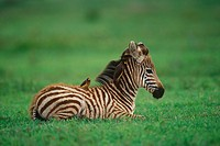 Africa, young zebra