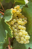 Italy, Tuscany: a bunch of chardonnay grapes
