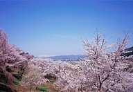 Cherry blossoms, Yamagata Prefecture, Japan