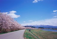 Row of cherry blossom trees