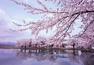 Cherry blossoms reflected upon pond