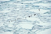 Adelie Penguins walking on pack ice, Thule Island, South Sandwich Islands