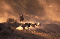 USA, Oregon, Bend, Cowboy on horseback rounding up horses