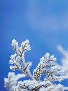 Frost on tree branch, Hokkaido, Japan