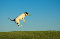 Queensland heeler dog jumping with frisbee