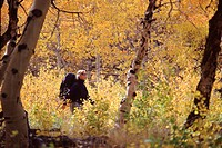 A woman hiking through yellow aspen trees near South Lake California.
