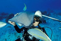 Diver feeding a sting ray  Dasyatis americana  at Sting Ray City, Grand Cayman