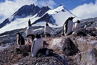 Antarctic Peninsula, Port Lockroy, penguins Pygoscelis papua